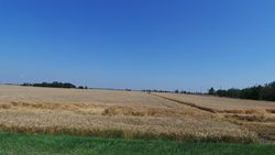 Wheat Ukraine